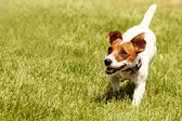 Running Jack Russell Terrier — Stock Photo