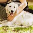 Golden retriever lying down on green grass during hot sunny day — Stock Photo