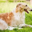 Beautiful greyhound in grass — Stock Photo #32047213