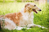 Beautiful greyhound in grass — Stock Photo