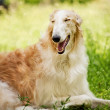 Stock Photo: Russiwolfhound