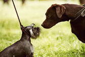 Big and little dogs rendezvous — Foto Stock