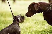 Velké a malé psy setkání — Stock fotografie