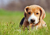 Cute little beagle puppy playing in grass — Stock Photo