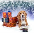 Stock Photo: Young beagle with presents christmas background