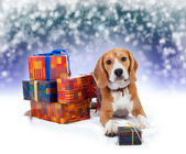 Young beagle with presents christmas background — Stockfoto