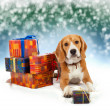 Young beagle with presents christmas background — Stock Photo