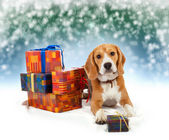 Young beagle with presents christmas background — Φωτογραφία Αρχείου