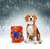 Genç beagle — Stok fotoğraf