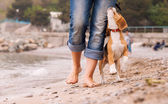 Puppy beagle running near it owner legs — Stockfoto