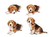 Schattig beagle pup — Stockfoto