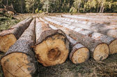 Logging. Felled pine logs piled firebreak — Stock Photo