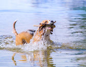 Swimming beagle — Foto de Stock