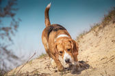 Beagle dog walking — Foto de Stock