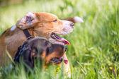 Beagle and dachshund half-faces portrait — Stock Photo