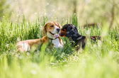 Beagle and dachshund  lying in grass — Foto de Stock