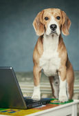 Nosy beagle near laptop — Stock Photo