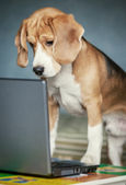 Nosy beagle surfing by internet — Stock Photo