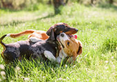 Dachshund and beagle — Stock Photo