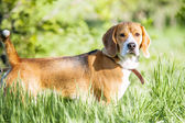 Purebred beagle portrait in green grass — Stock Photo