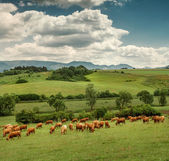 Herd of red Cows — Stock Photo