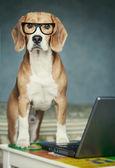 Nosy beagle in glasses near laptop — Stock Photo