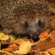 Muzzle of a hedgehog - Stockfoto