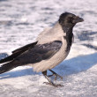 Crow on the ice 4 — 图库照片