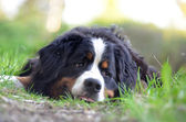 Dog in the grass-3 — Stock Photo