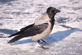 Crow on the ice 4 — Stock Photo