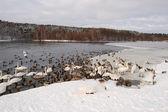 Cisnes no inverno — Fotografia Stock