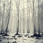 Birch trees in fog — Stock Photo