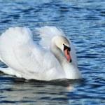 White swan swiming on lake 1 — Stock Photo #16313505