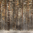 Forest in  snow in winter — Stock Photo