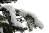 モミの枝 — ストック写真