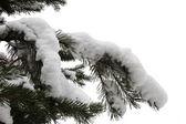 Zweig der fir — Stockfoto