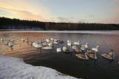 Swans swim and live in the winter — Stock Photo