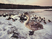 Ugly duckling was winter on the lake — Stock Photo