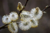 Willow branches with full-blown kidney — Stok fotoğraf