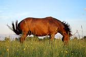Häst pastureing på ängen — Stockfoto