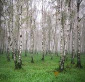 Bosque de vidoeiros no nevoeiro na primavera — Fotografia Stock