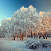 Silver frost on the trees on a sunny day in winter — Stock Photo