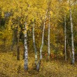 Birch in beautiful autumn forest — Stock Photo