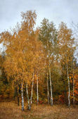 Birch in beautiful autumn forest — Stock Photo