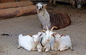 Lama & goats — Stock Photo