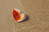 Seashell — Stock Photo