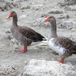 Geese at lake Kournas at island Crete — Stock Photo