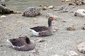 Oies au lac de kournas à crète — Photo