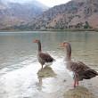 Geese at lake Kournas at island Crete — Stock Photo