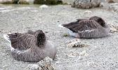 Geese at lake Kournas at island Crete — Stok fotoğraf